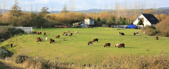 agricultural land and welsh sheep, Ruth's coastal walk