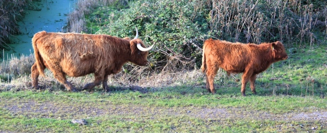 cattle with pointy horn, Ruth on Wales Coast Path