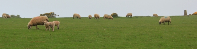 Welsh sheep, near Oxwich and trig point, Ruth hiking in Wales