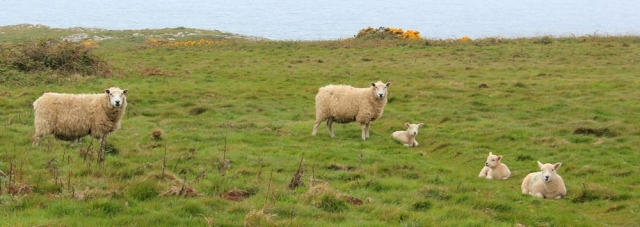 05 lambs, on the cliffs, Ruth walking the Gower peninsula