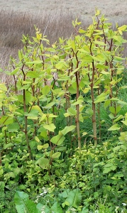 Japanese Knotweed, Ruth Livingstone in Pen-Clawdd