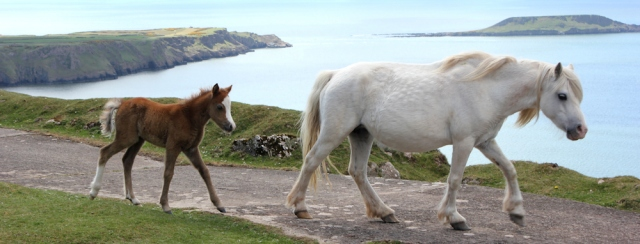 Pony and foal on Rhossili Down, Ruth's coastal walk
