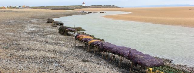 a08 racks of mussells, Pebrey Burrows, Ruth walking the Wales Coast Path