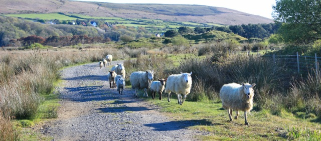 x12 sheep on track, Whiteford Nature Reserve, Ruth walking in Gower