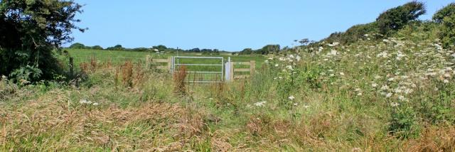 08 overgrown field, Ruth hiking near Castlemartin