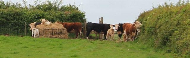 12 Cows with calves guarding stile, Ruth in Wales