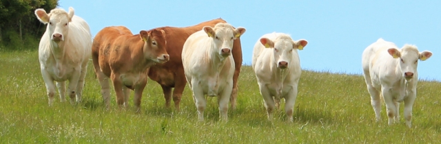 18 beautiful cows, Mwche, Ruth walking in Wales