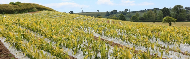20 plants growing through plastic, Ruth in Carmarthenshire