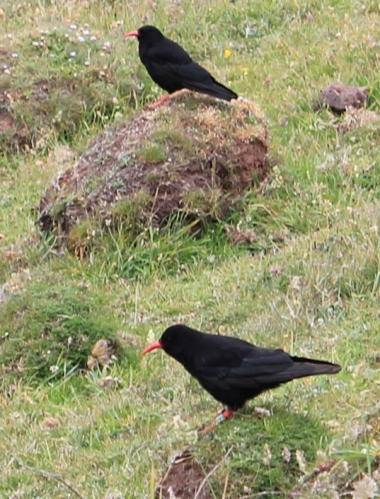 choughs, Ruth Livingstone in Wales