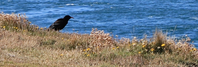 03 chough, Ruth on Marloes Peninsula, hiking