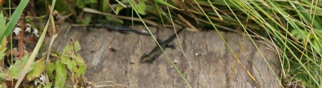08 newts,Mill Bay, Ruth's coastal walk, Wales