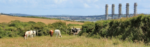 cow encounter, near Power Station, Ruth walking the Pembrokeshire Coast Path