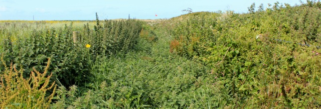 path of weeds, Pembrokeshire and Ruth's coastal walk