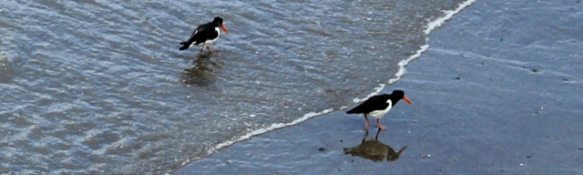 14 oyster catchers at Aber Castle, Ruth's coastal walk, Wales