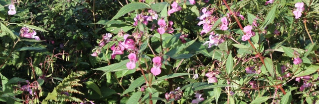 03 Himalaya Balsam, Ruth walking the welsh coast