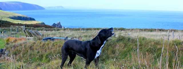 04 dog on cliff, Ruth walking the Pembrokeshire Coast