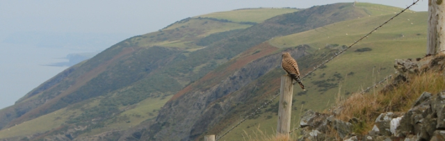 07 kestrel on a fence post, Ruth hiking in Wales