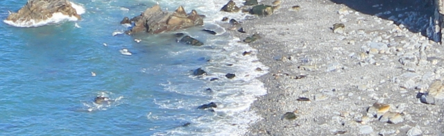 08 seals in Traeth Godir-coch, Ruth walking the Pembrokeshire Coast Path