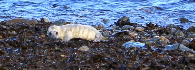 11 seal pup on beach, Ruth Livingstone in Wales