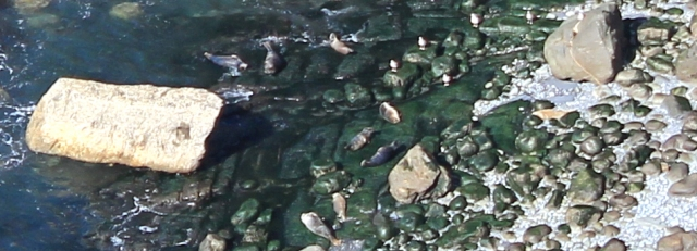 12 more seals, Ruth Livingstone in Wales