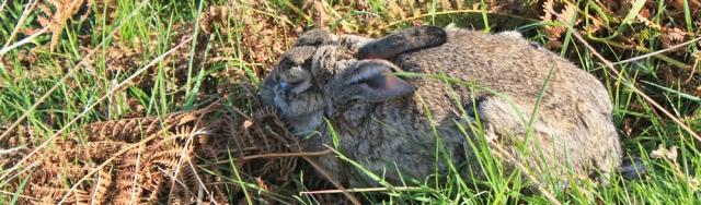 14 old rabbit, St Dogmaels, Ruth hiking the coast