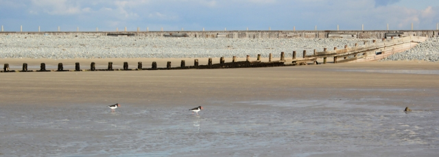 21 Borth Sands, oyster catchers, Ruth Livingstone trekking in Wales