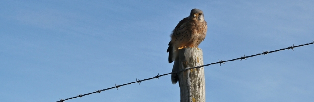 22 baby kestrel on post, Ruth Livingstone