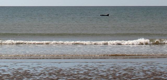 22 dolphin, Borth Sands, Ruth walking the Wales Coast