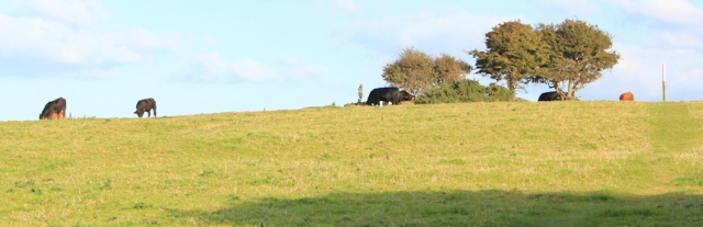 22 field of cows, Ruth walking into Parcllyn