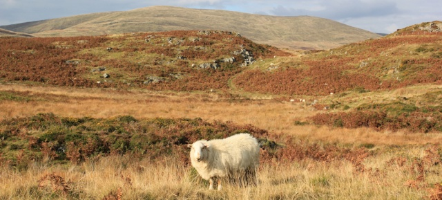 22 sheep on the Panorama Walk, Ruth hiking above Aberdyfi