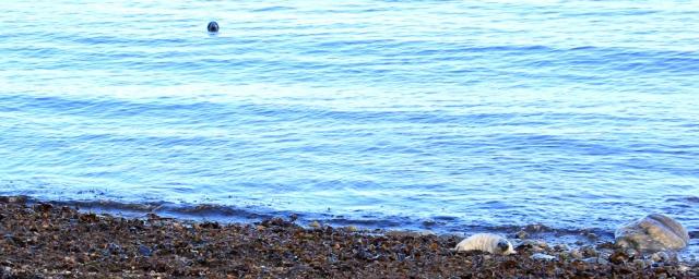 seal mum keeping an eye, Ruth Livingstone