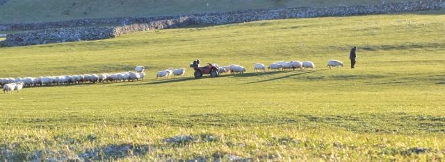 01 sheep breakfast, Ruth walking above Llwyngwril