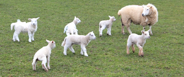 10 lambs wearing plastic bags, Ruth hiking in Wales