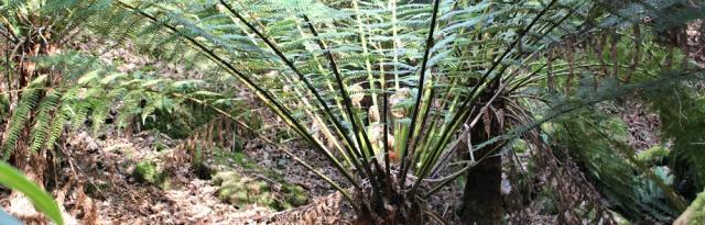 12 giant ferns, Ruth Livingstone, Portmeirion