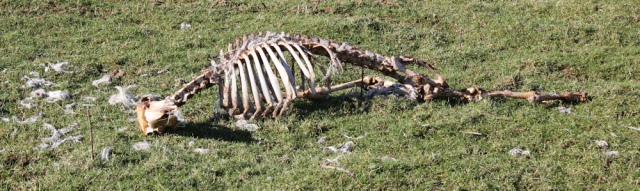23a dead sheep, Ruth's coastal walk