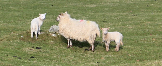 24 first lambs, Ruth in Wales