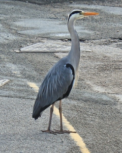 01 heron in Aberdaron, Ruth Livingstone in Wales
