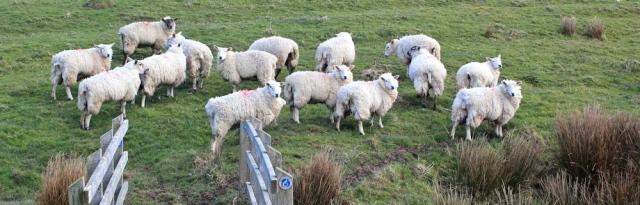 05 sheep mud-makers, Ruth hiking in the Llyn Peninsula