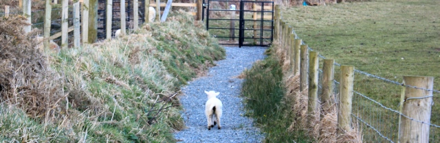 21 lamb running between fences, Wales