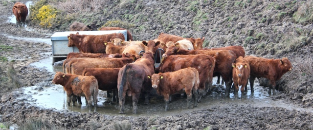 24 muddy cows, Aberdaron, Ruth's coastal hike, Wales