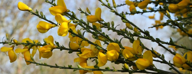 03 flowering gorse, Ruth Livingstone walking the coast