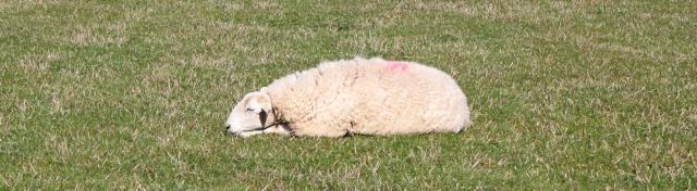 04 sleepy sheep, Ruth Livingstone hiking in Wales