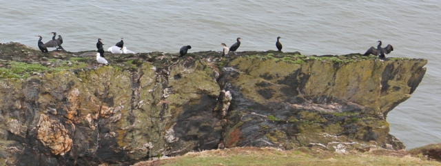 06 gulls and comorants, Trwyn-y-Tal, Trefor, Ruth walking in Wales
