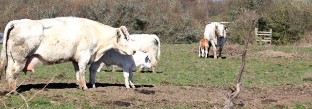 cows and calves, Ruth's coastal walk, Wales