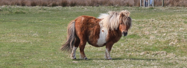 12 mini horses, Ruth walking the Anglesey coast