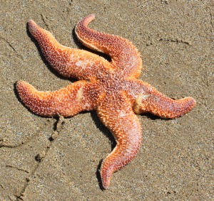 17 starfish, Malltraeth Bay, Ruth Livingstone