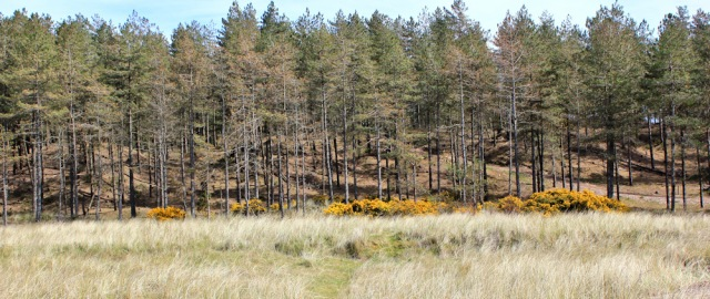 19 Newborough Forest and dunes, Ruth's coastal walk, Anglesey