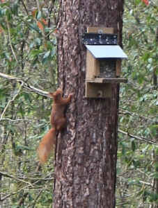 21 red squirrel, Ruth hiking in Newborough Forest, Wales