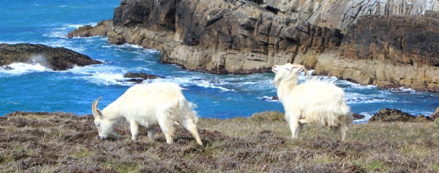 a22 two white goats, Rhoscolyn Head, Ruth's coastal walk, Wales