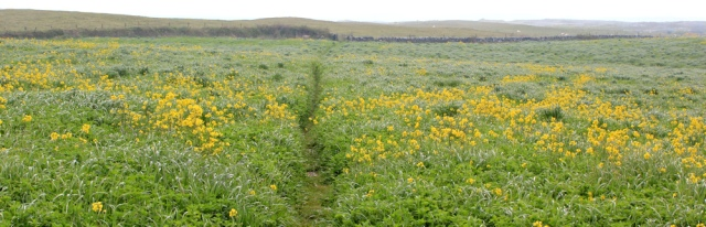 03 walking through field of rape, Ruth on the Wales Coast Path